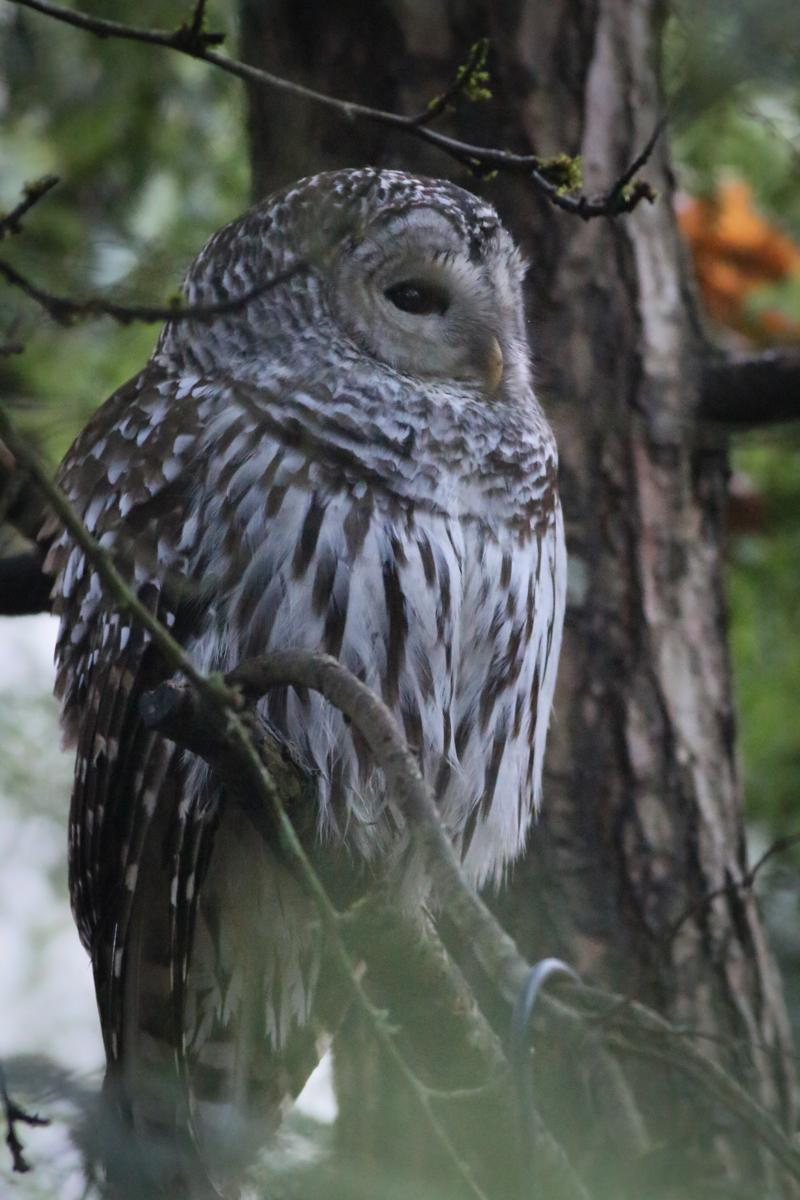 Barred Owl Photo by Skip Russell