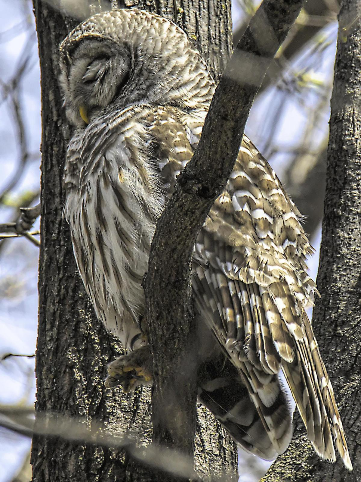 Barred Owl Photo by Dan Tallman