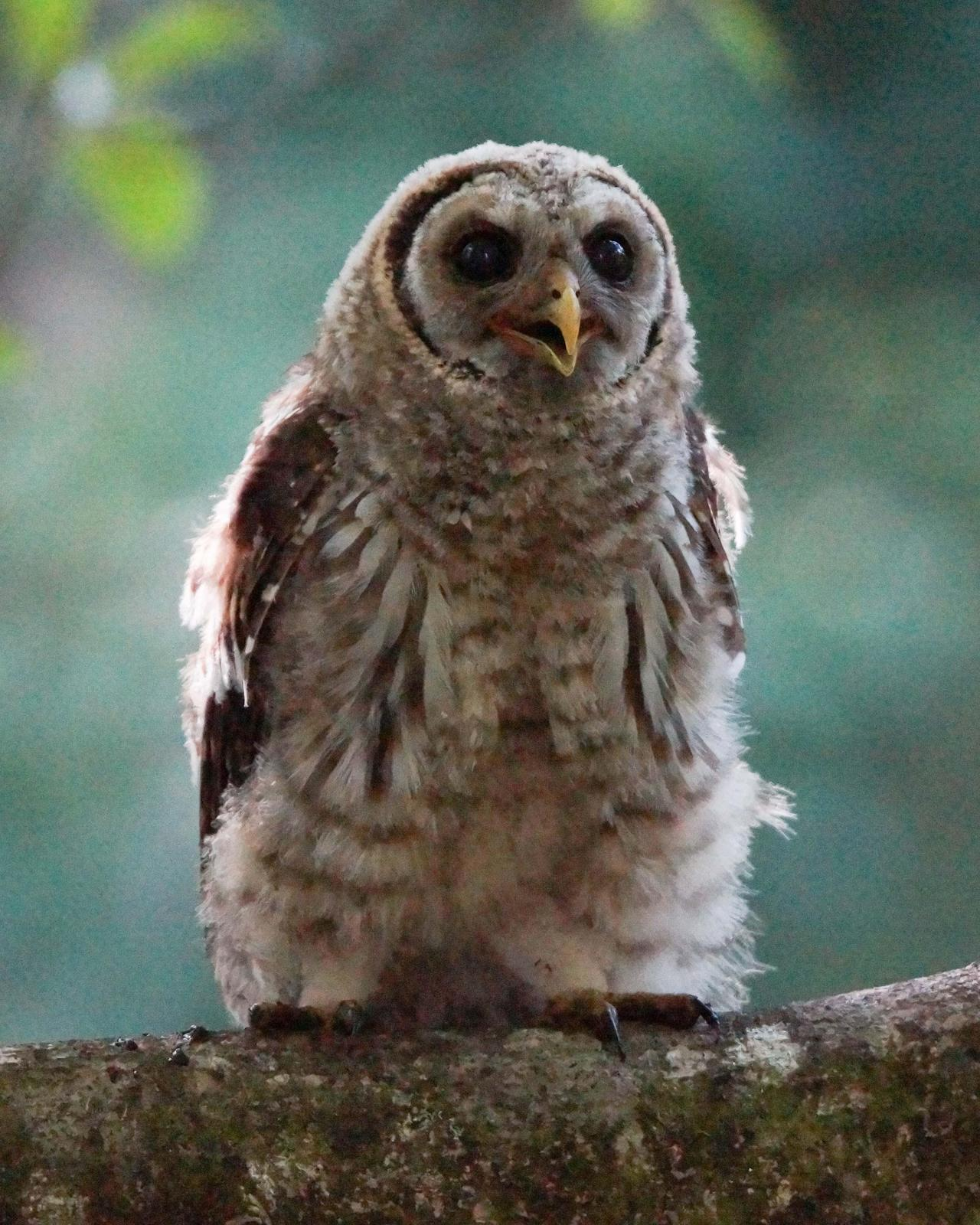 Barred Owl Photo by Steve Percival