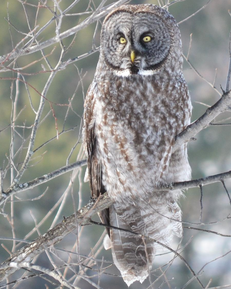 Great Gray Owl Photo by George Mayfield