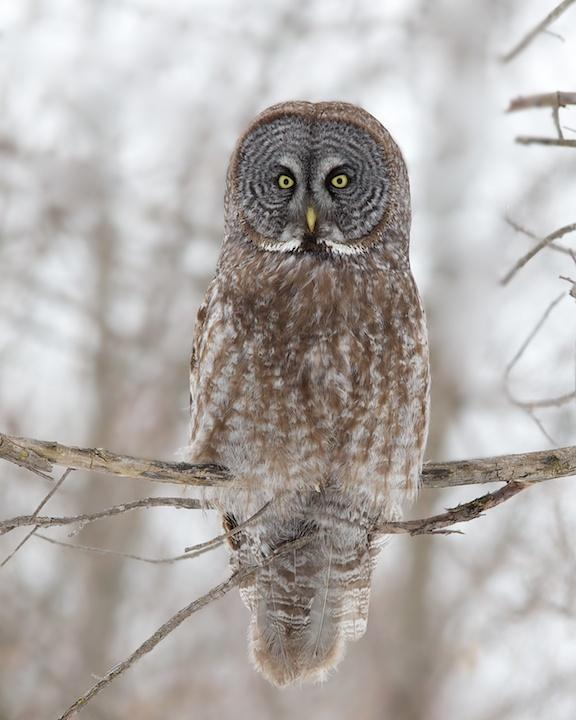 Great Gray Owl Photo by Denis Rivard
