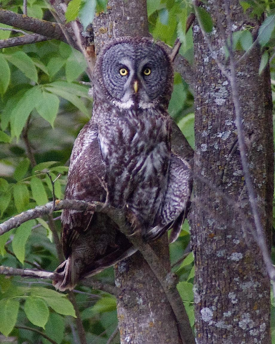 Great Gray Owl Photo by Gerald Hoekstra