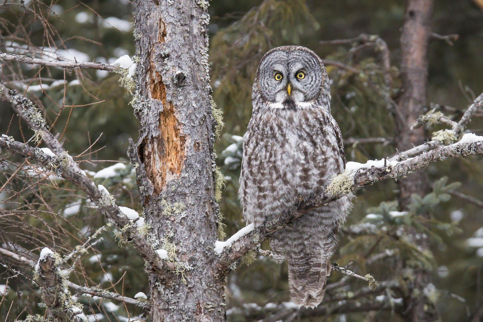 Great Gray Owl Photo by Ryan Jones