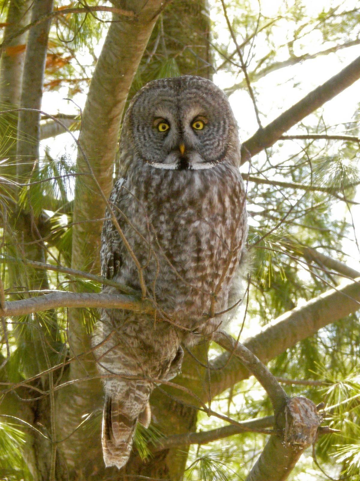 Great Gray Owl Photo by Tom Ford-Hutchinson