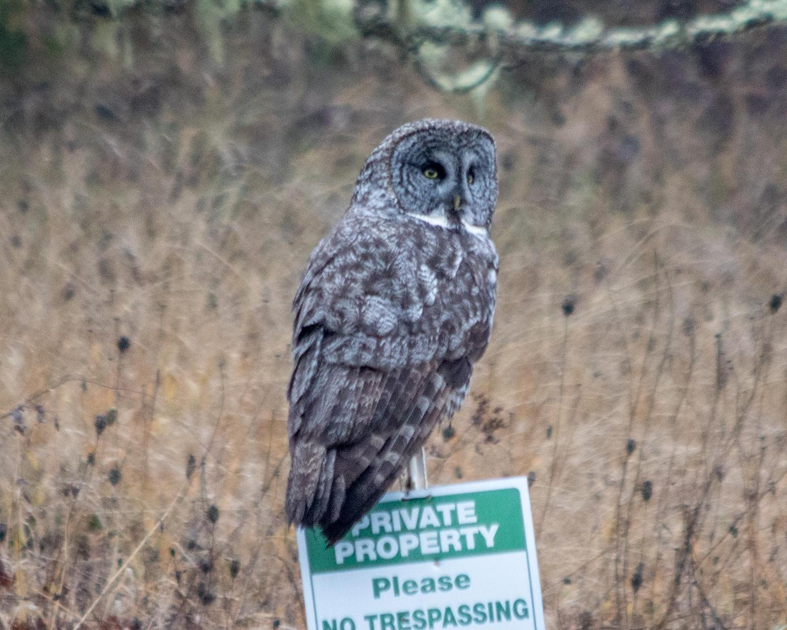 Great Gray Owl Photo by Mark Baldwin