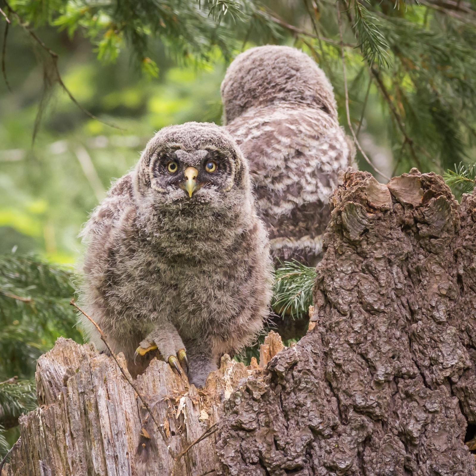 Great Gray Owl Photo by Jesse Hodges