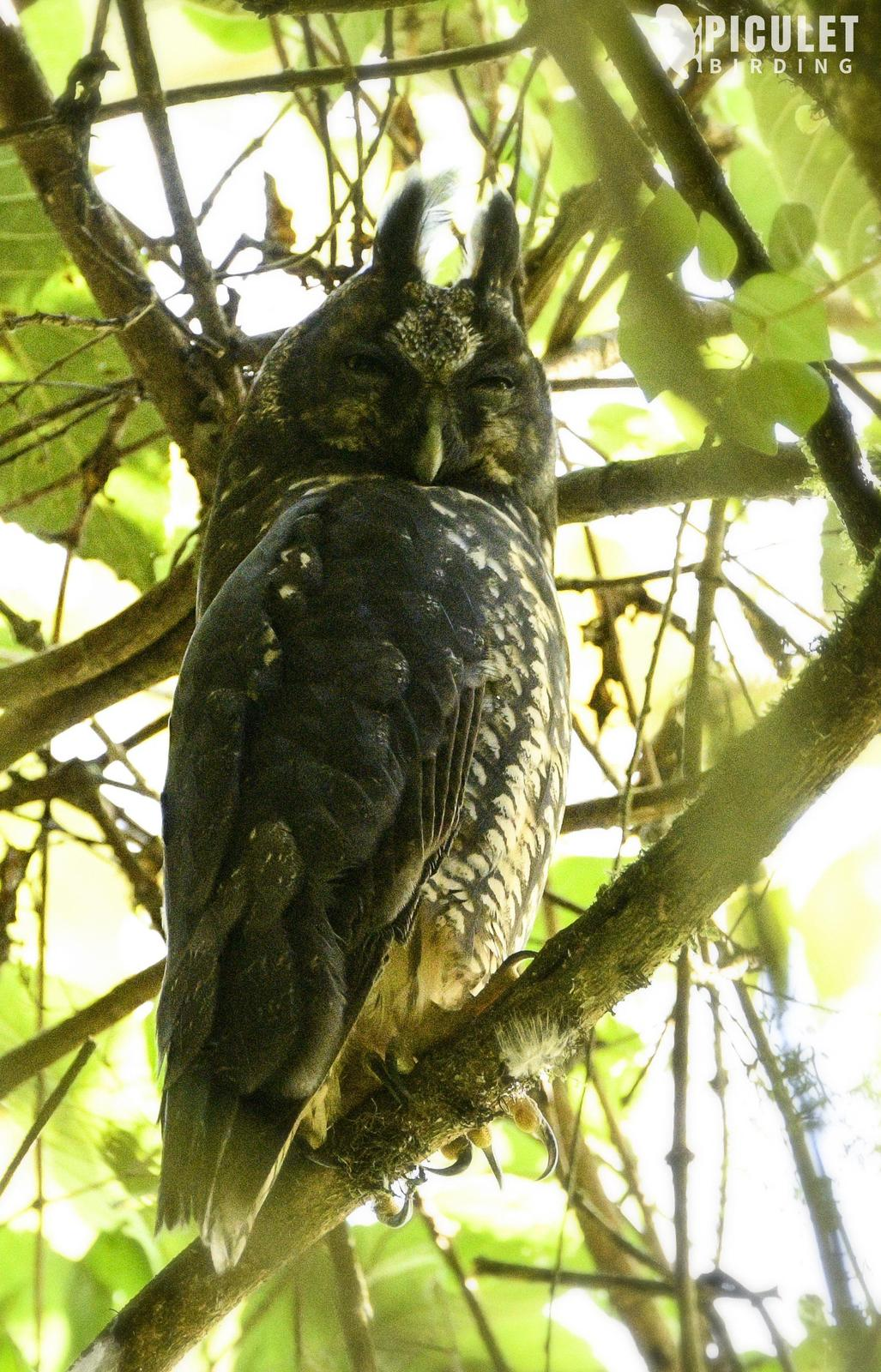 Stygian Owl Photo by Julio Delgado