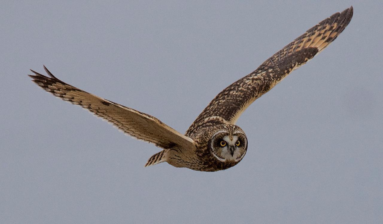 Short-eared Owl (Northern) Photo by Brian Avent