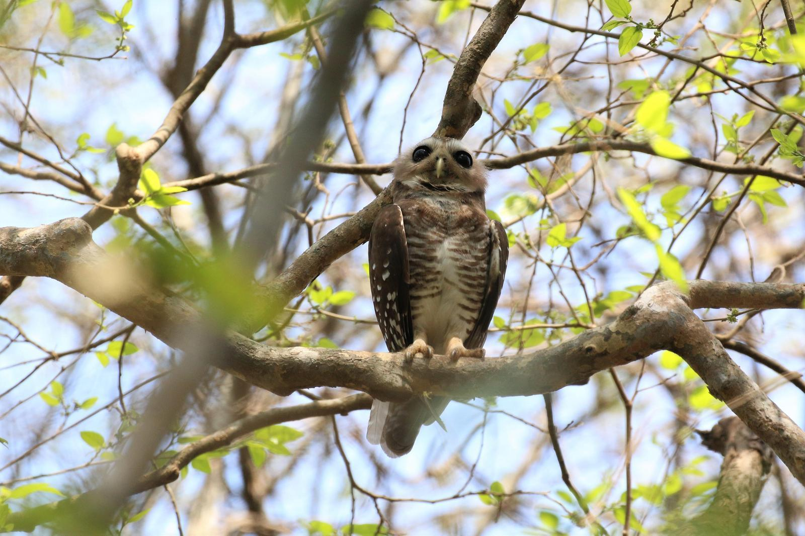 White-browed Owl Photo by Richard Jeffers