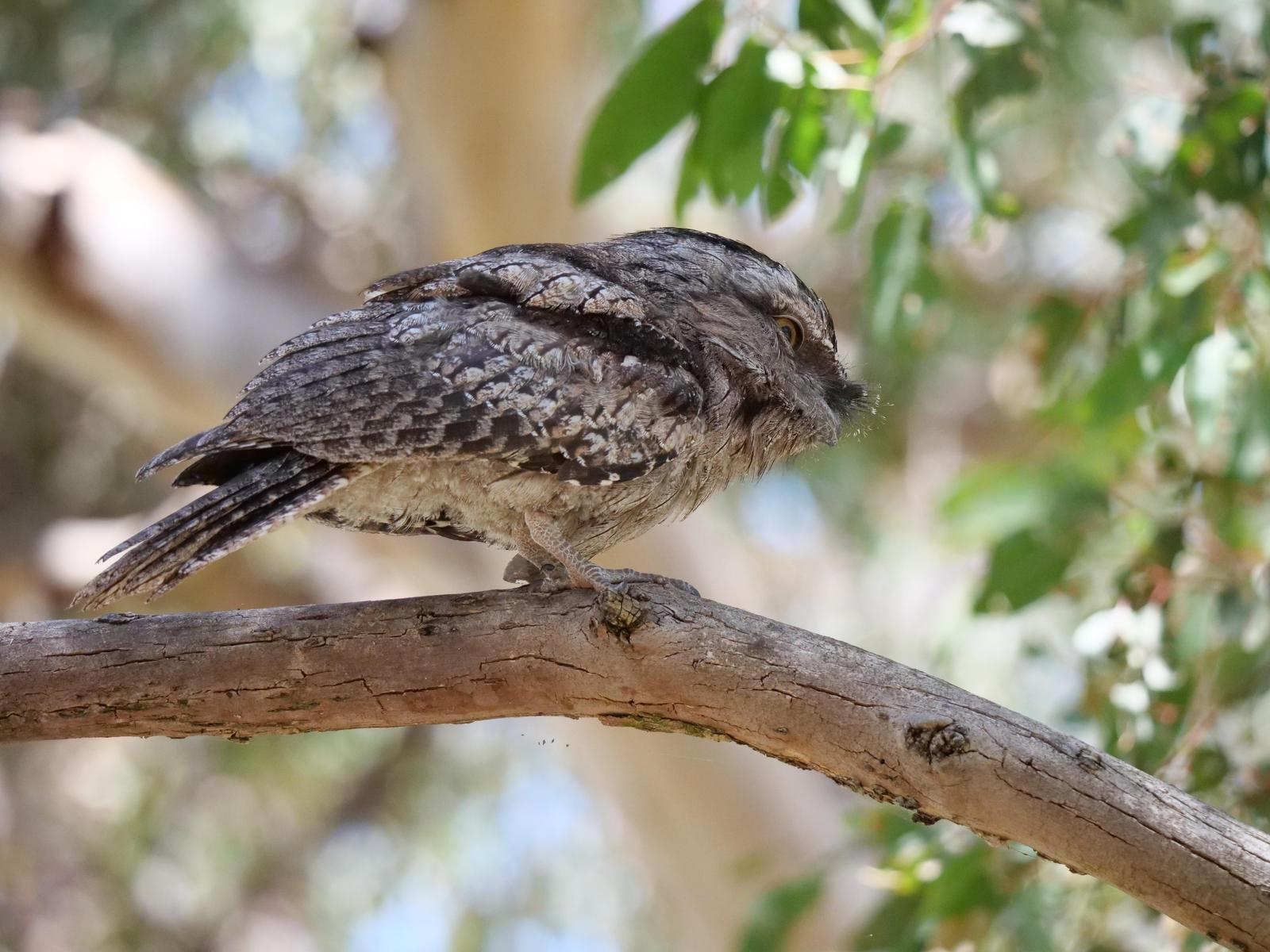 Tawny Frogmouth Photo by Peter Lowe