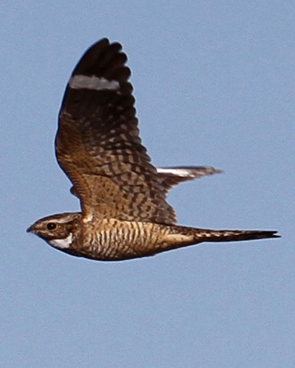 Lesser Nighthawk Photo by Jamie Chavez