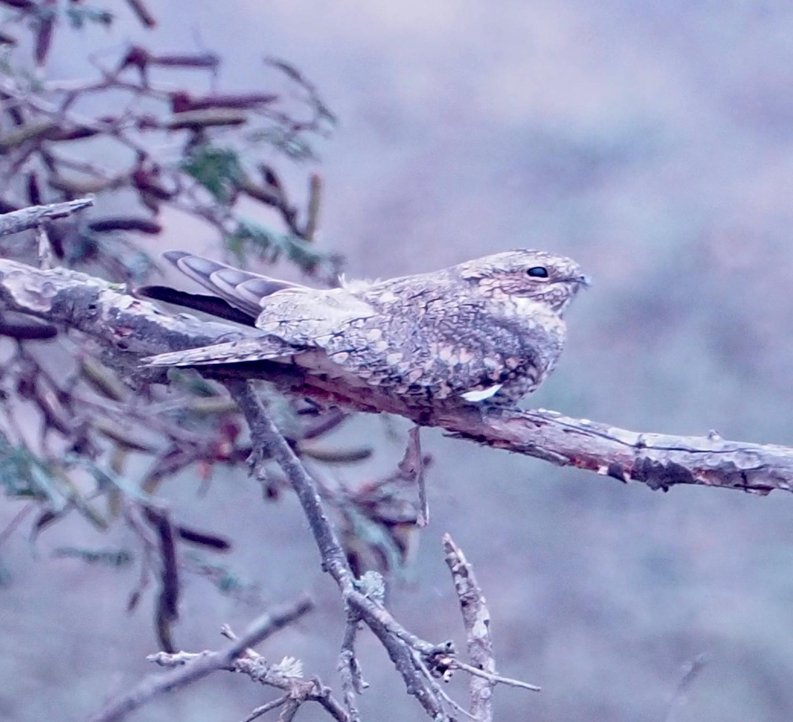 Lesser Nighthawk Photo by Geraint Langford
