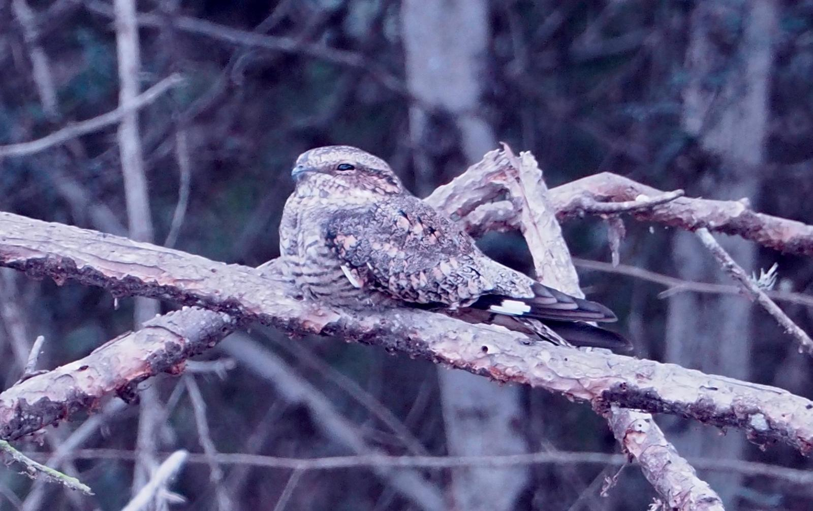 Tschudi's Nightjar Photo by Geraint Langford