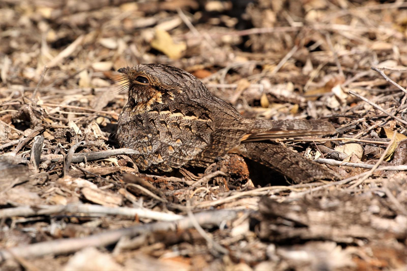 Madagascar Nightjar Photo by Richard Jeffers