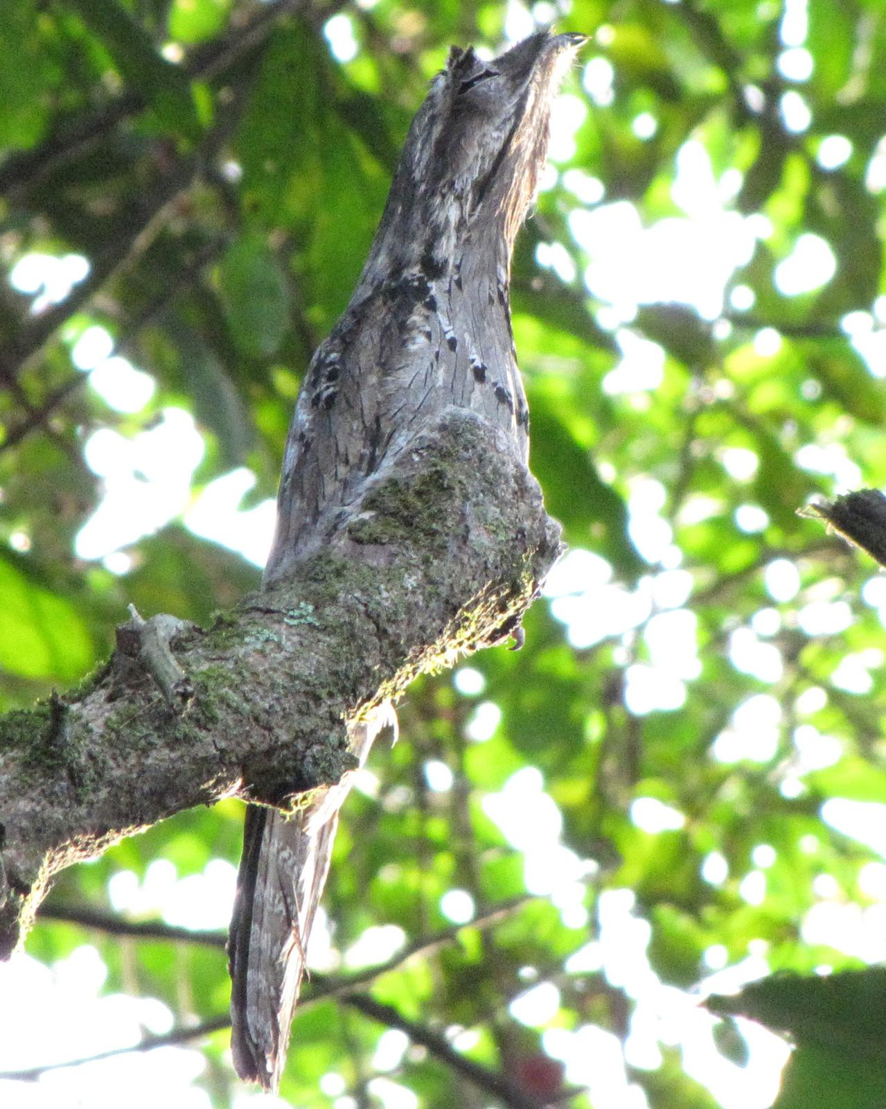 Common Potoo Photo by Kent Fiala
