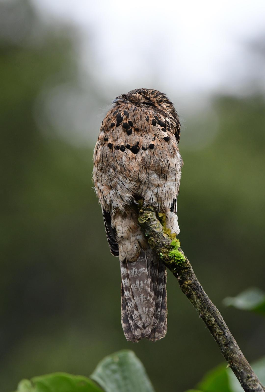 Common Potoo Photo by Jacob Zadik