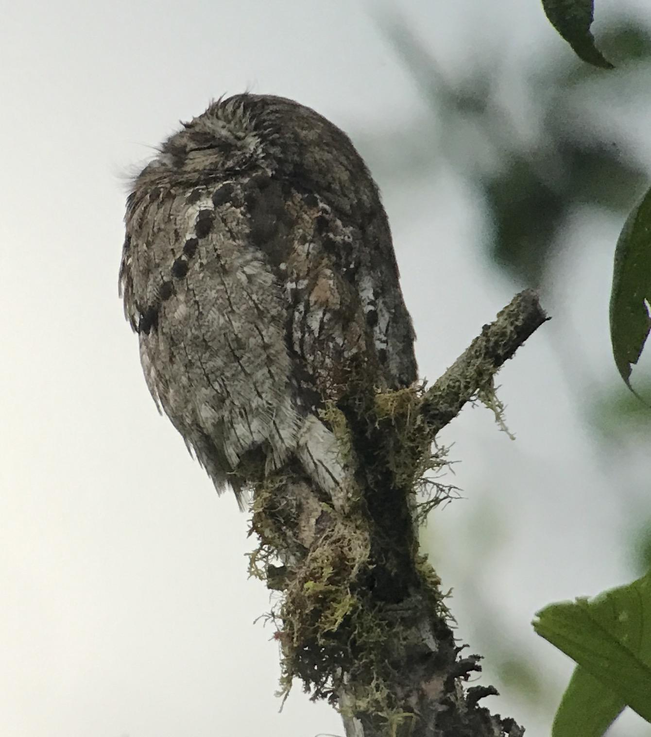 Common Potoo Photo by Kathleen John