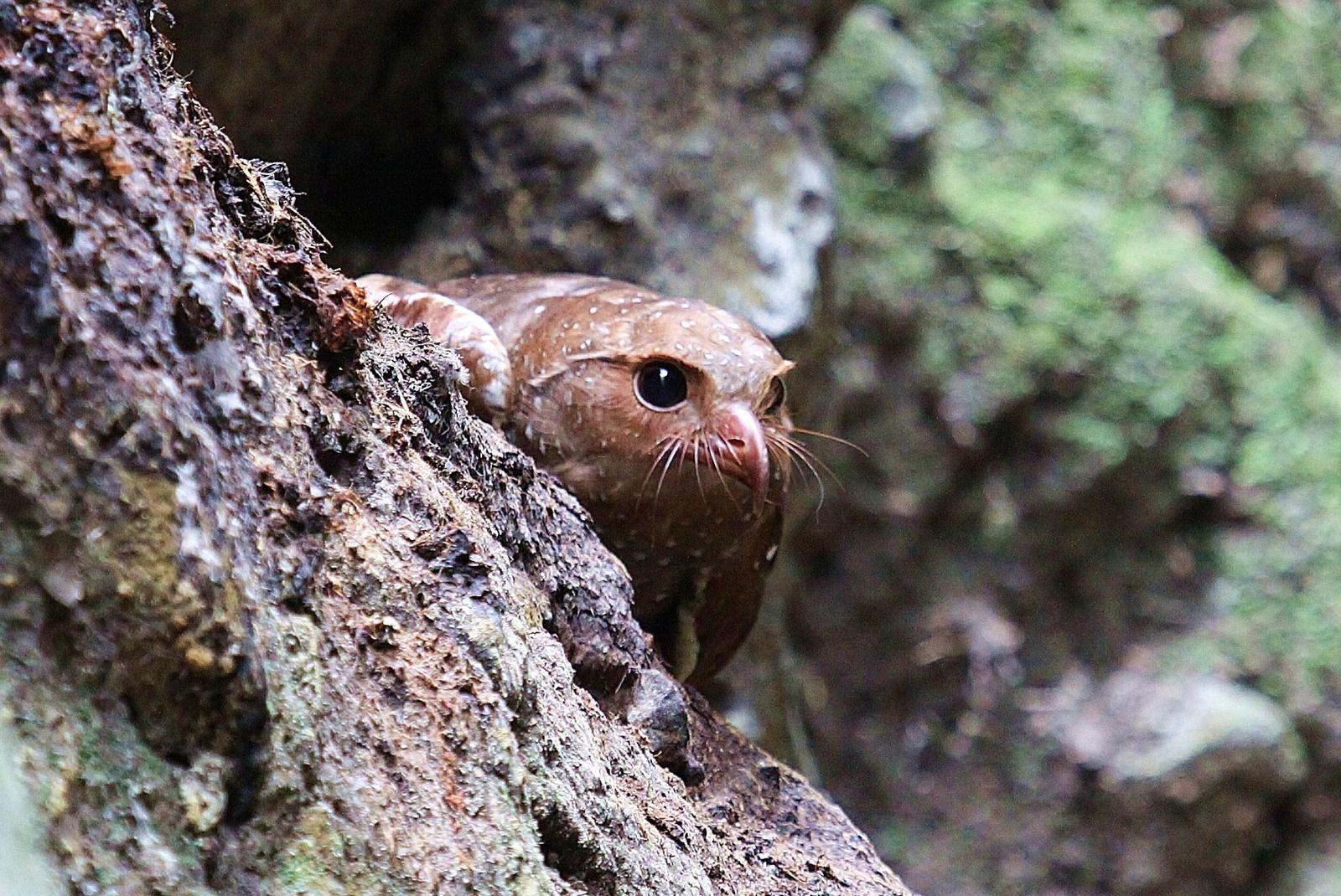 Oilbird Photo by Matthew McCluskey