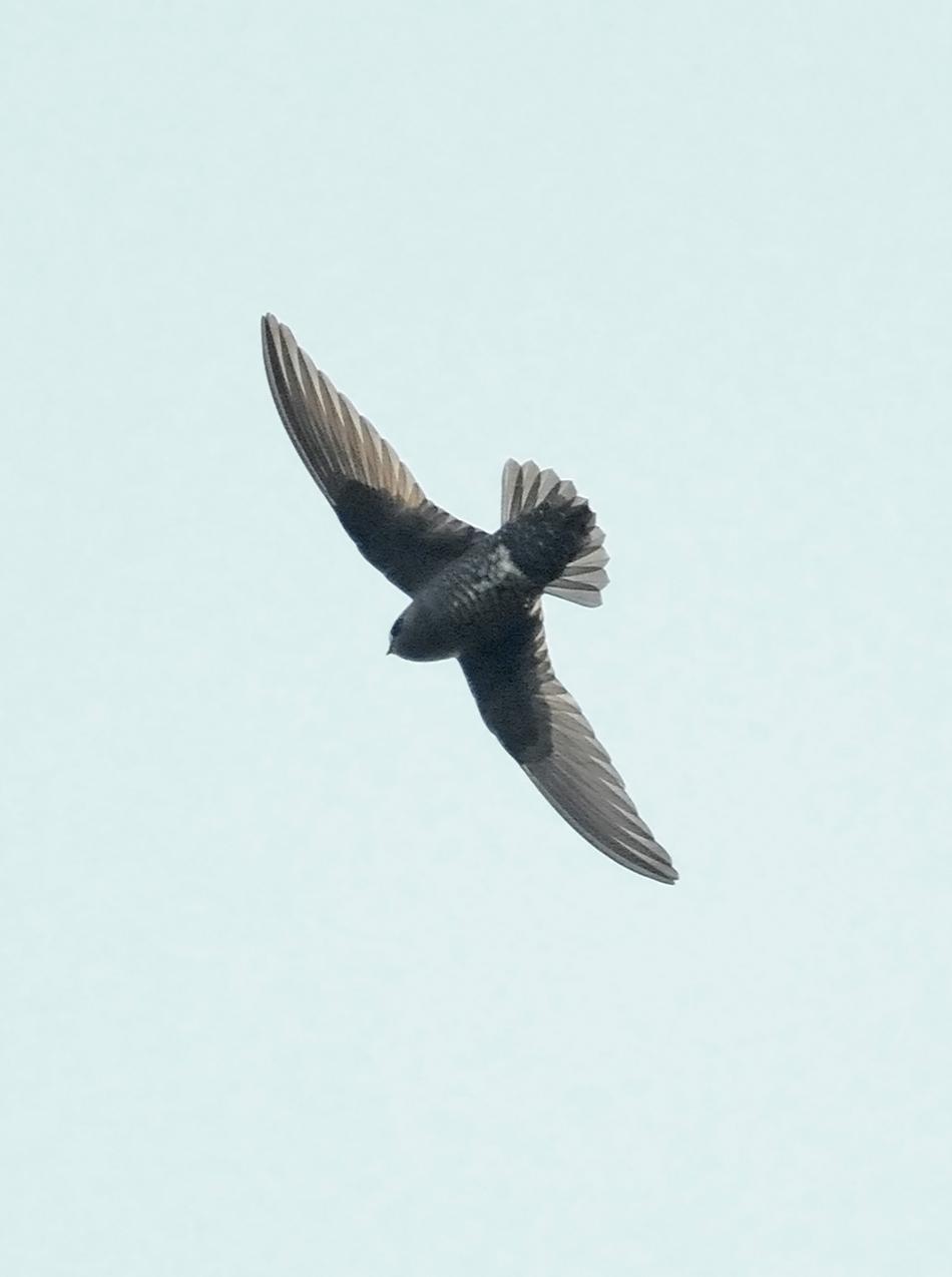 Black Swift (borealis) Photo by Steven Mlodinow