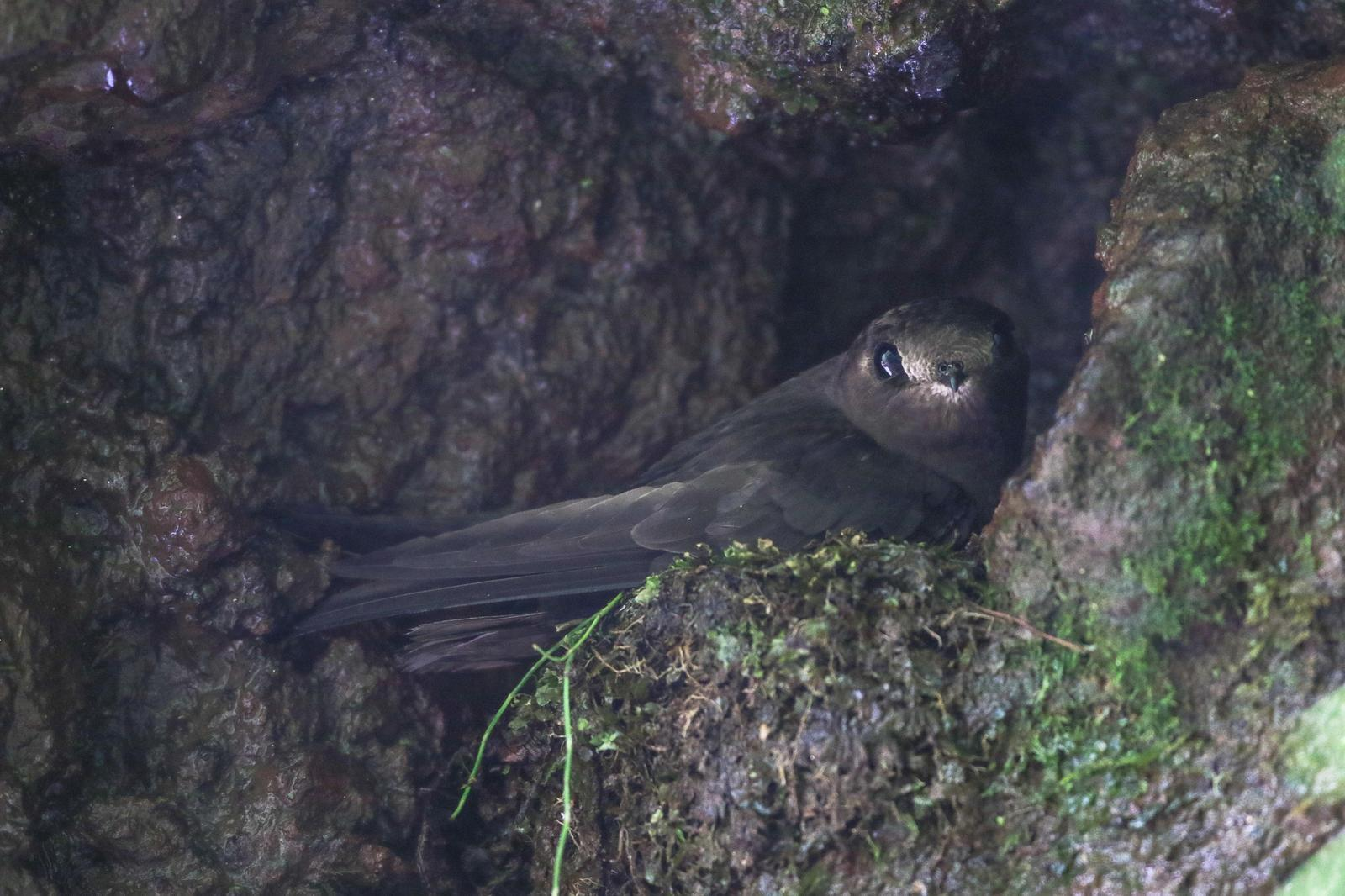 White-chinned Swift Photo by Leonardo Garrigues
