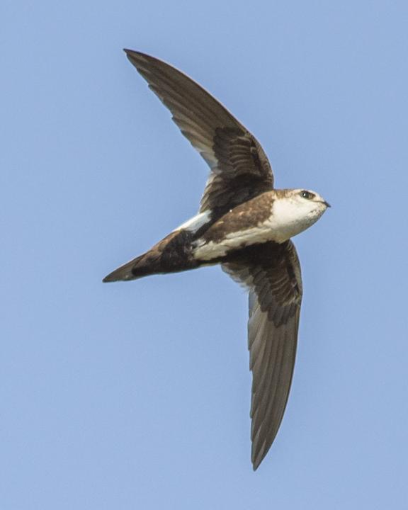 White-throated Swift Photo by Anthony Gliozzo