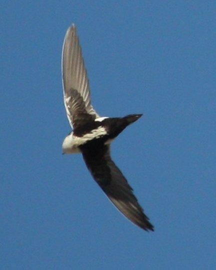 White-throated Swift Photo by Andrew Core