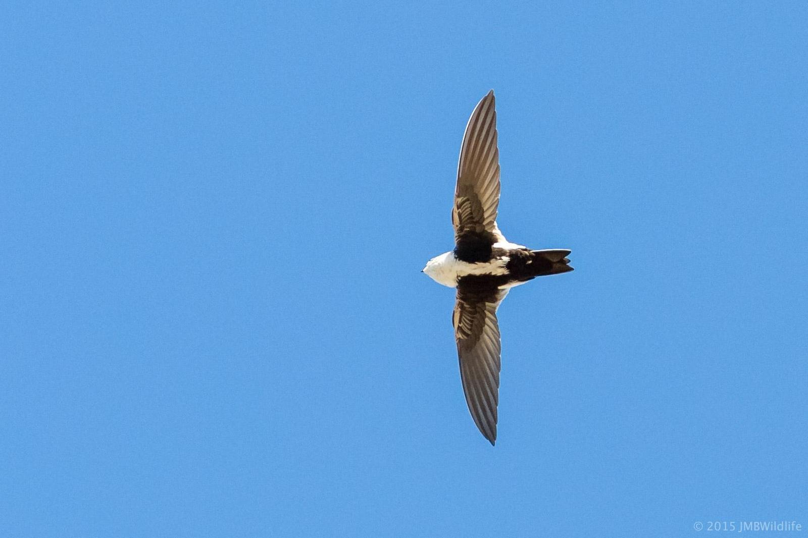 White-throated Swift Photo by Jeff Bray