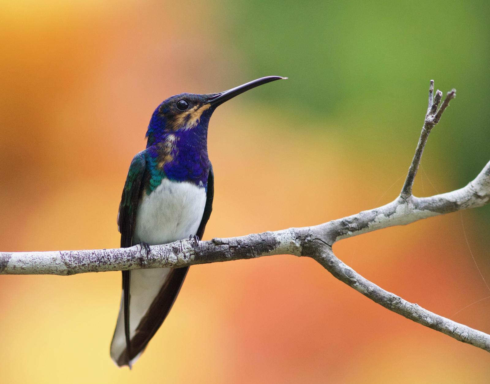 White-necked Jacobin Photo by Andre  Moncrieff