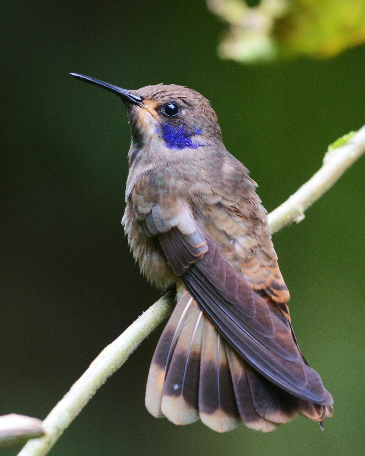 Brown Violetear Photo by David Hollie