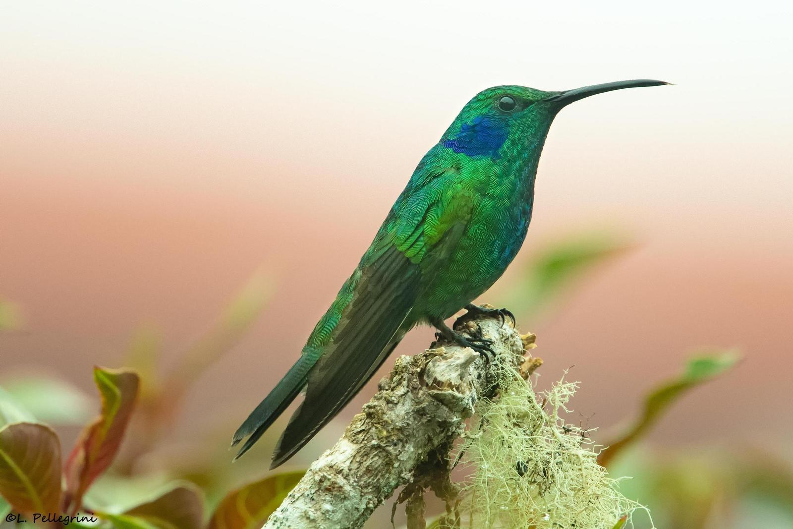 Lesser Violetear (Costa Rican) Photo by Laurence Pellegrini