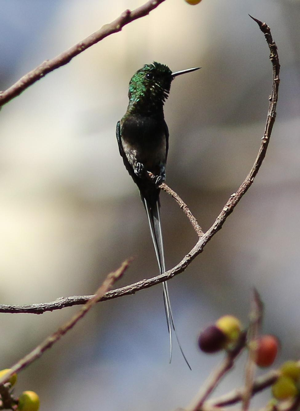 Black-bellied Thorntail Photo by Leonardo Garrigues