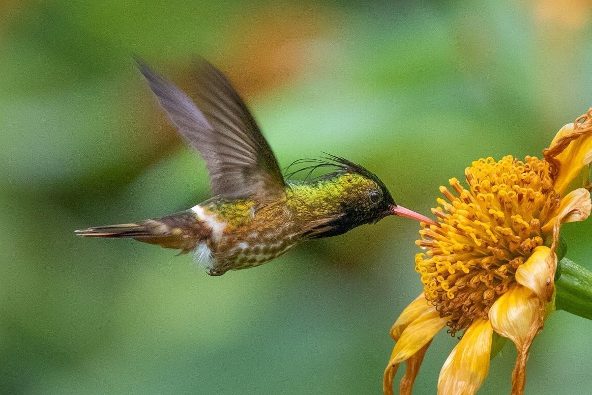 Black-crested Coquette Photo by Kate Persons