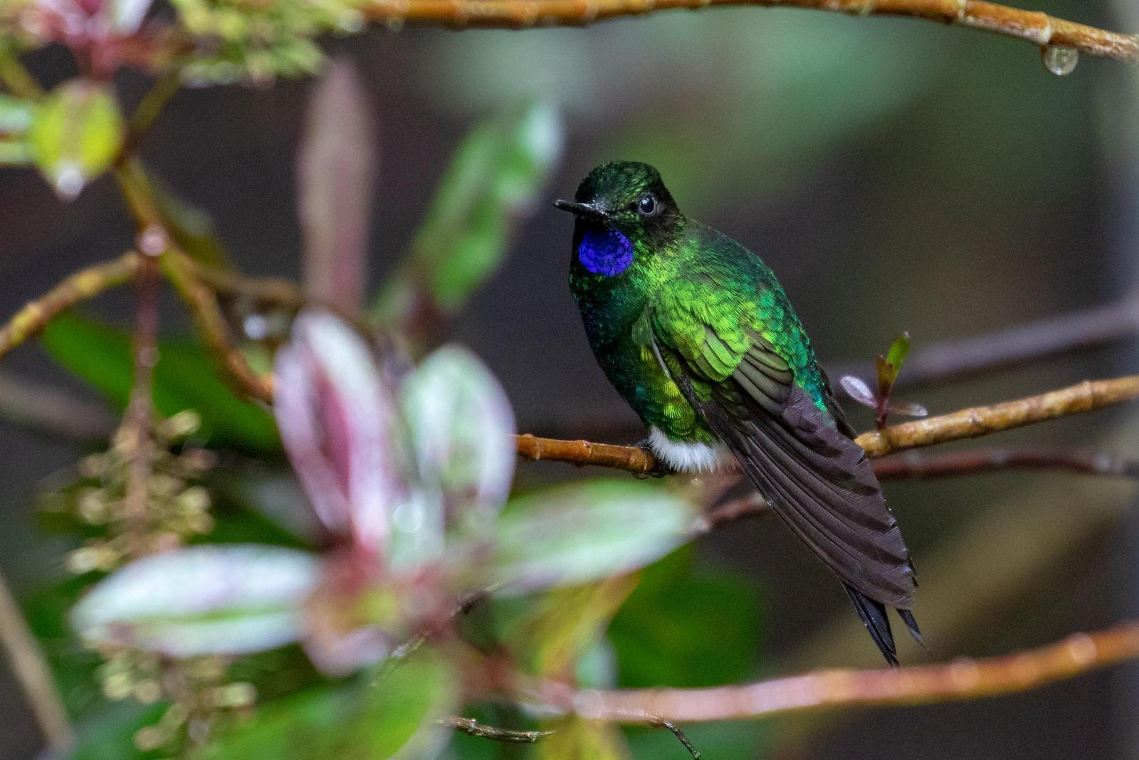 Glowing Puffleg Photo by Drew Weber