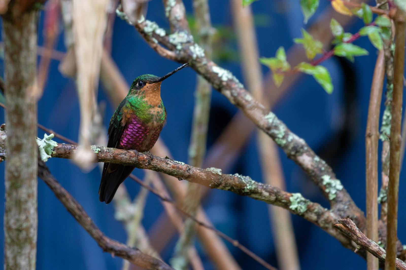 Blue-throated Starfrontlet Photo by Drew Weber