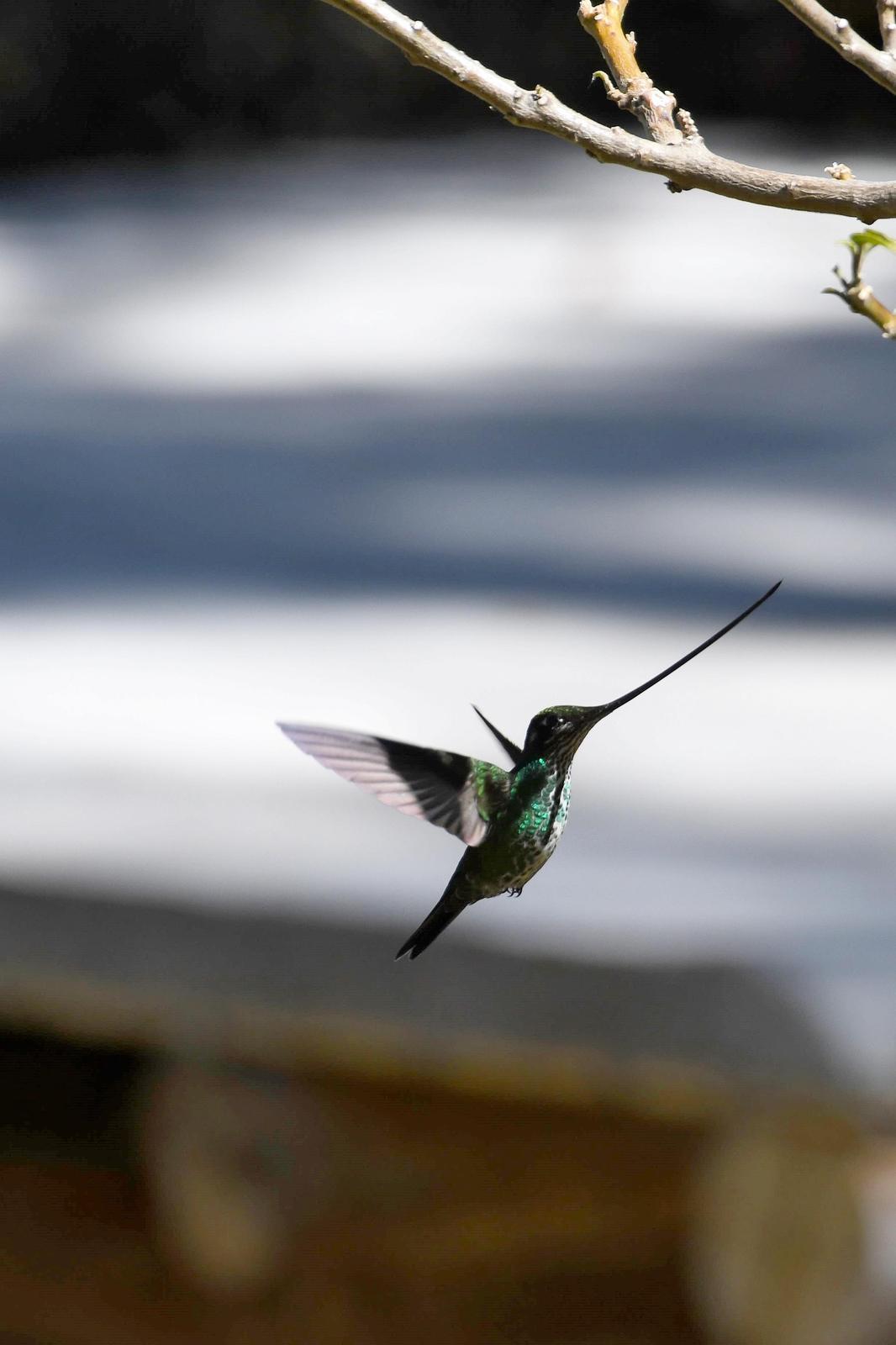 Sword-billed Hummingbird Photo by Ann Doty