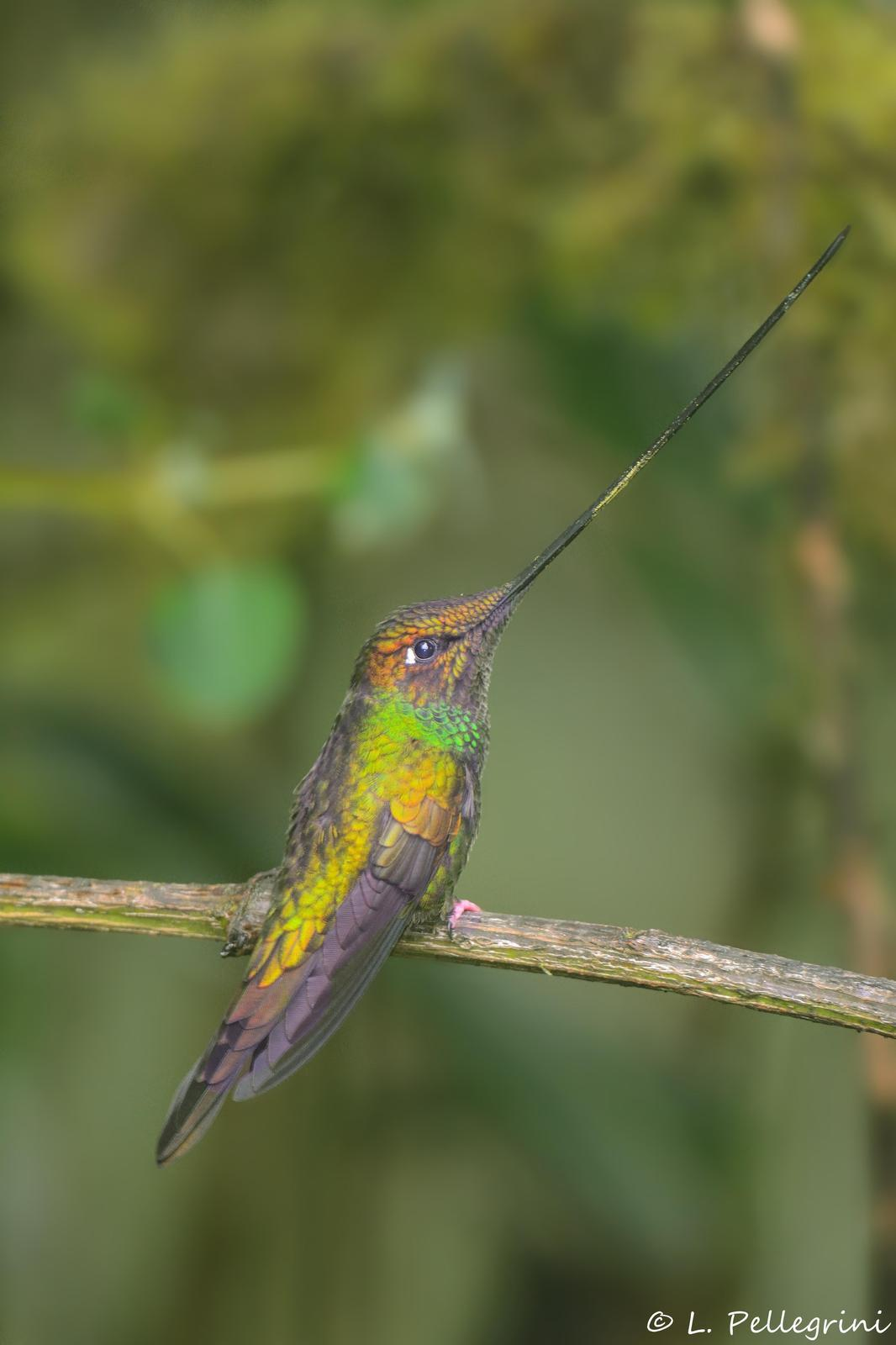 Sword-billed Hummingbird Photo by Laurence Pellegrini