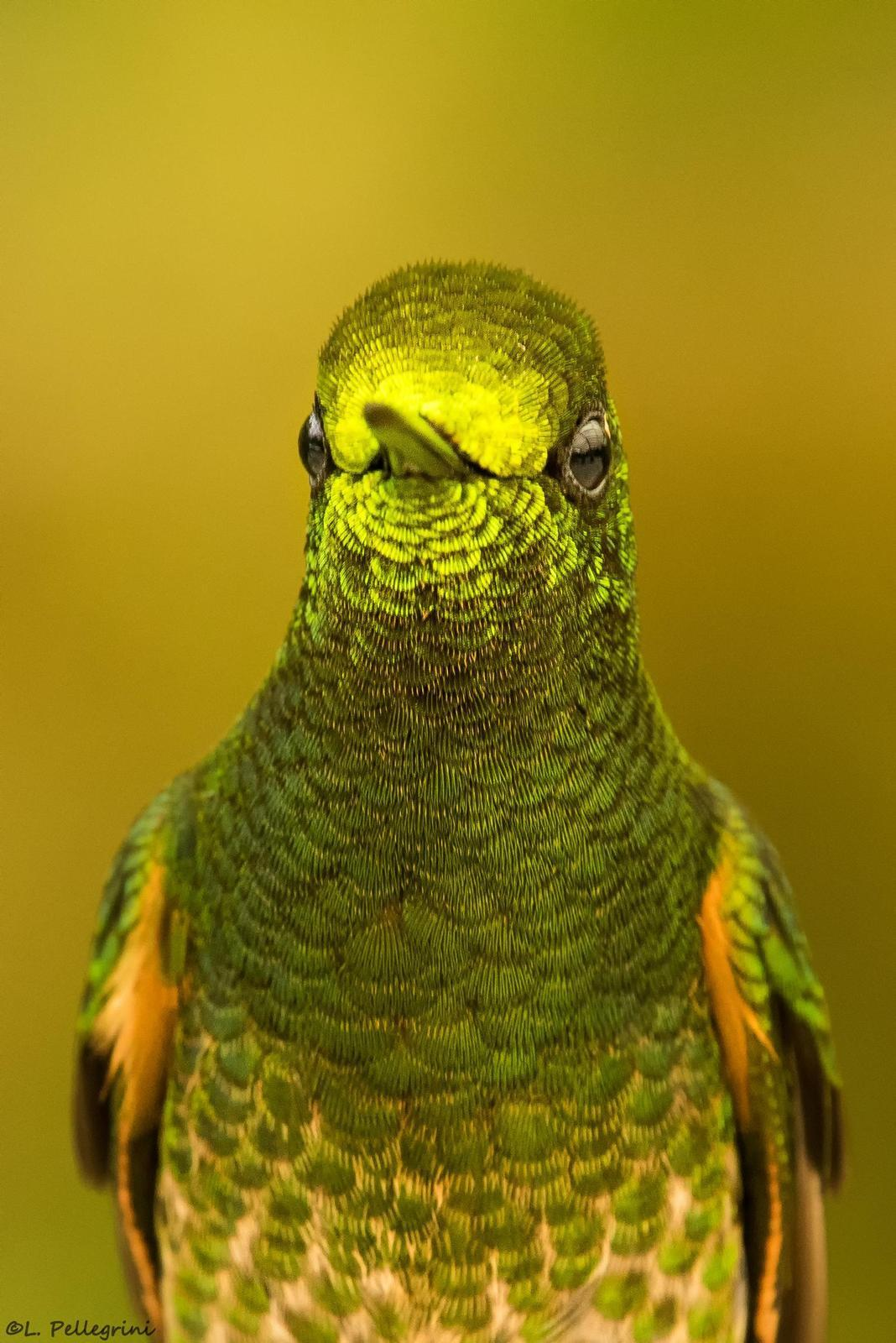 Buff-tailed Coronet Photo by Laurence Pellegrini