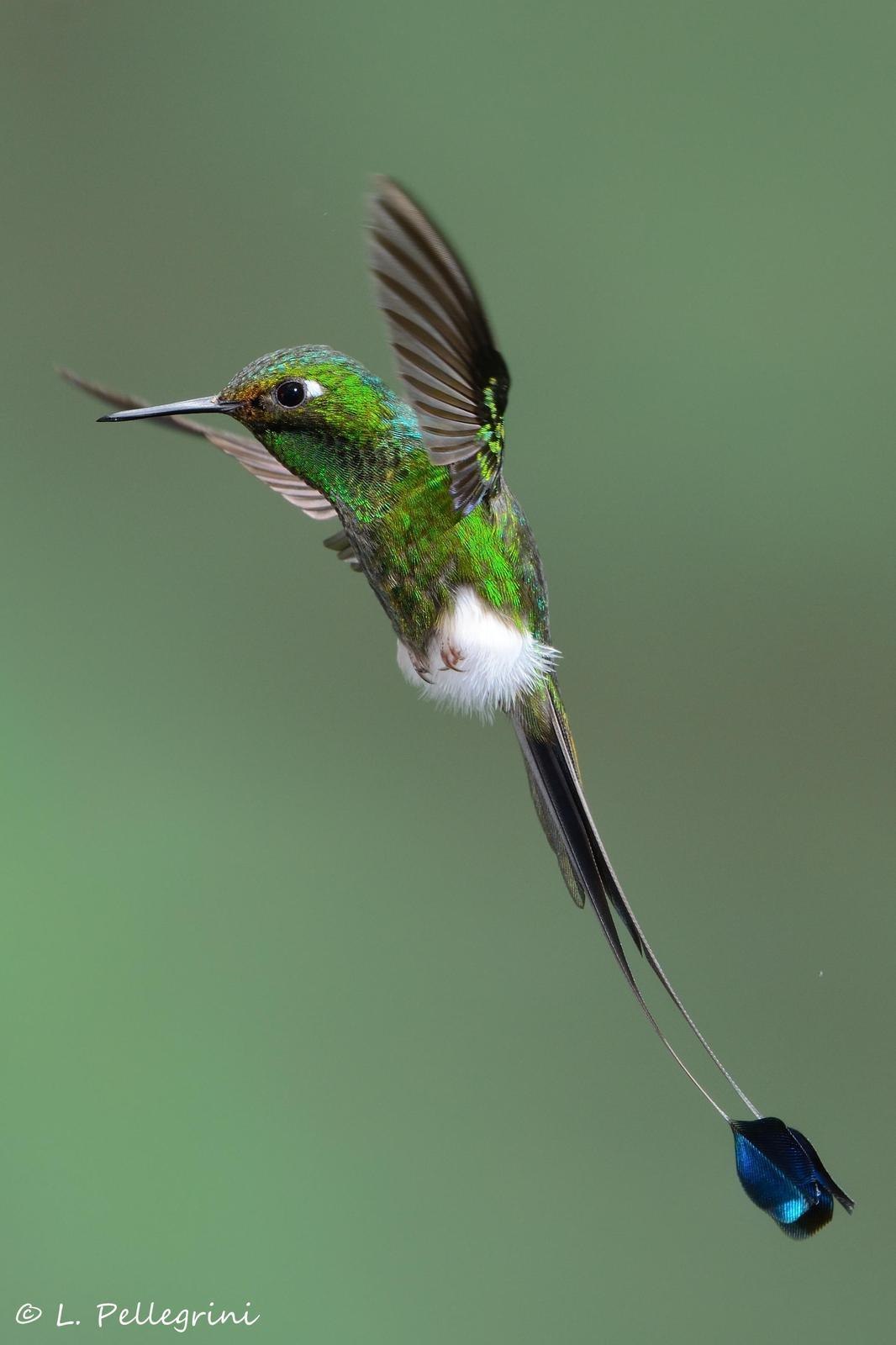 Booted Racket-tail Photo by Laurence Pellegrini
