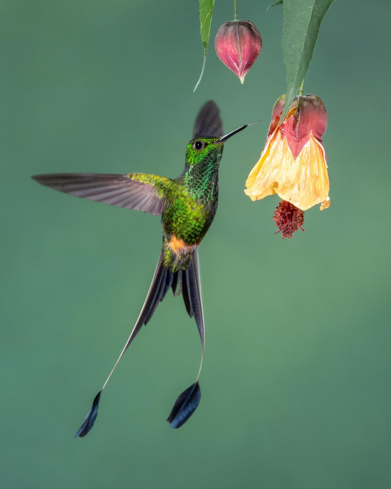 Booted Racket-tail Photo by Harold Davis