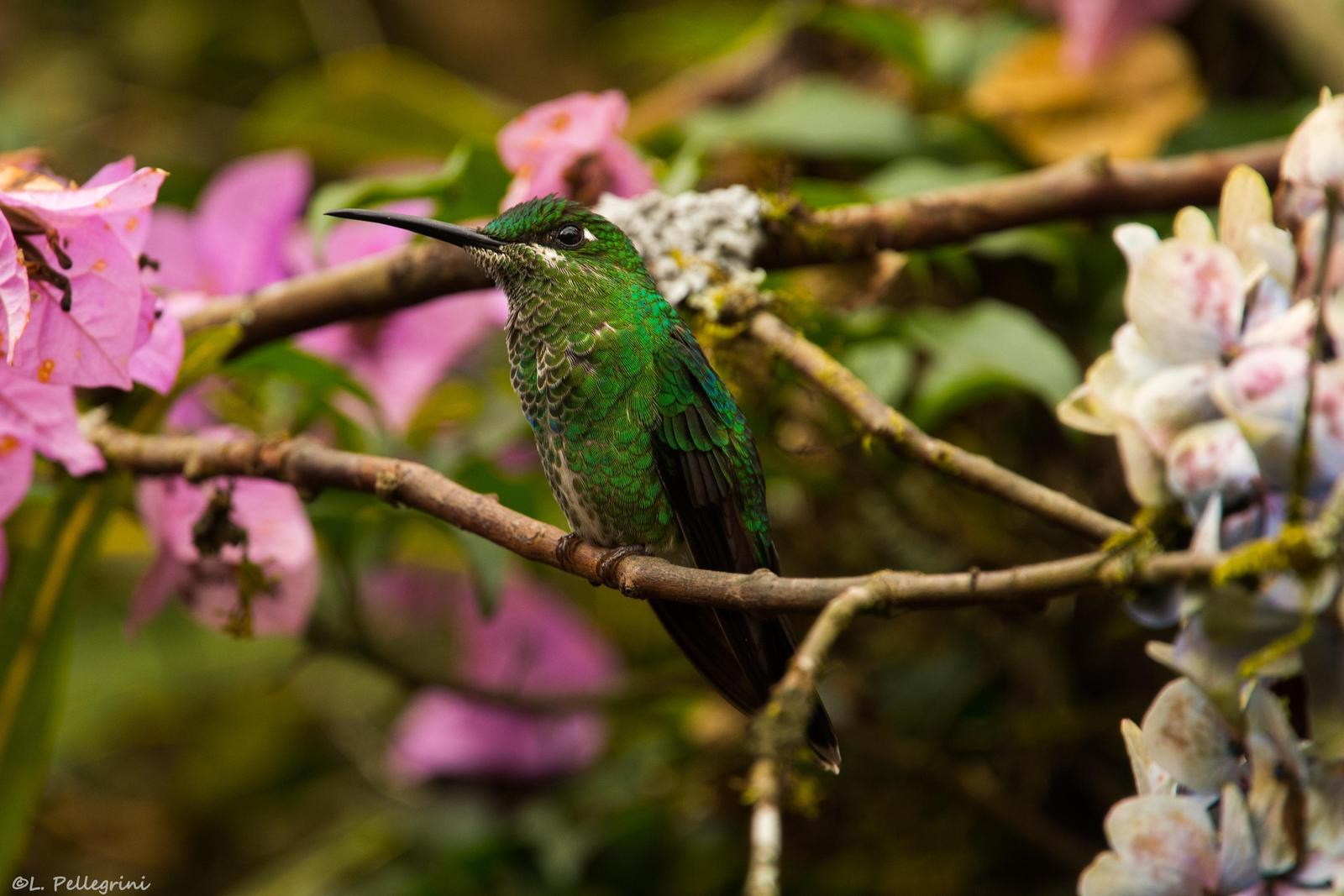 Green-crowned Brilliant Photo by Laurence Pellegrini