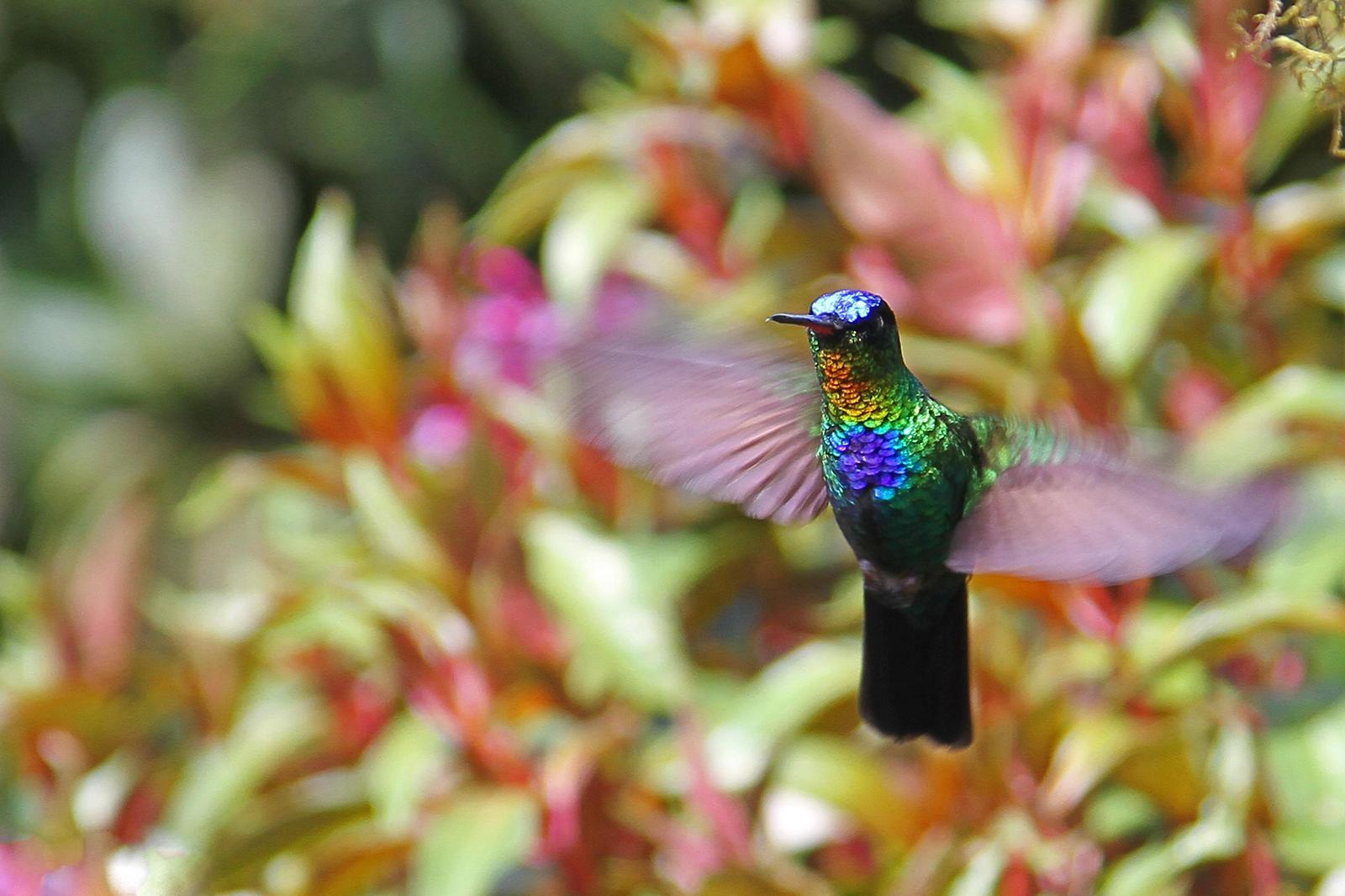 Fiery-throated Hummingbird Photo by Lauren Shaffer