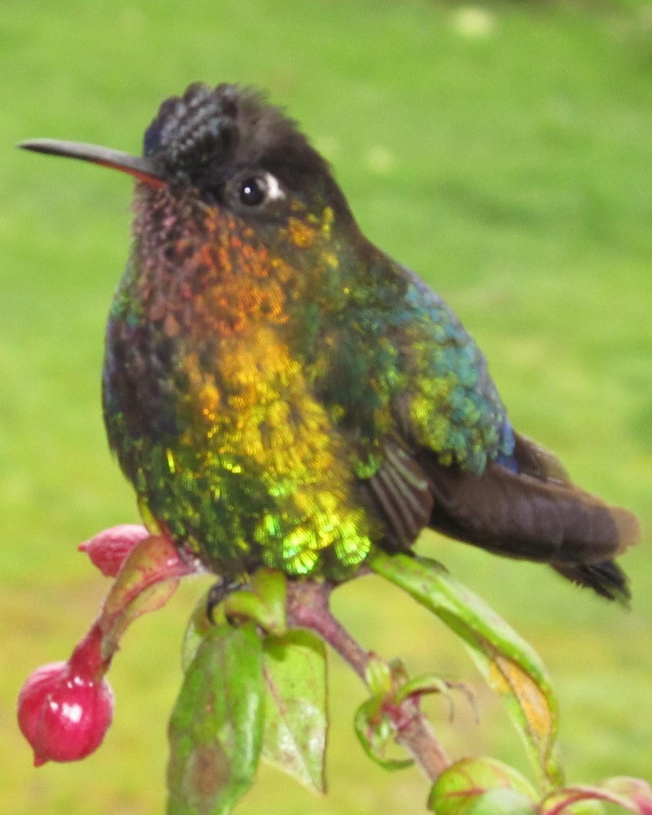 Fiery-throated Hummingbird Photo by David Bell