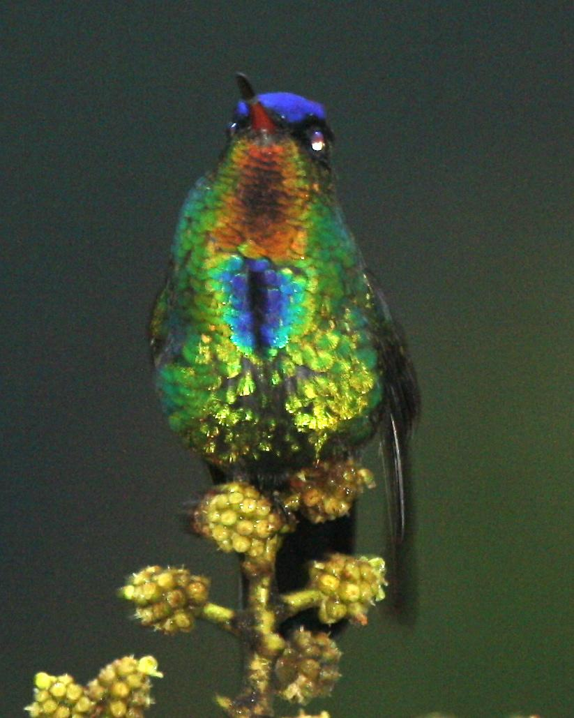 Fiery-throated Hummingbird Photo by Michael L. P. Retter