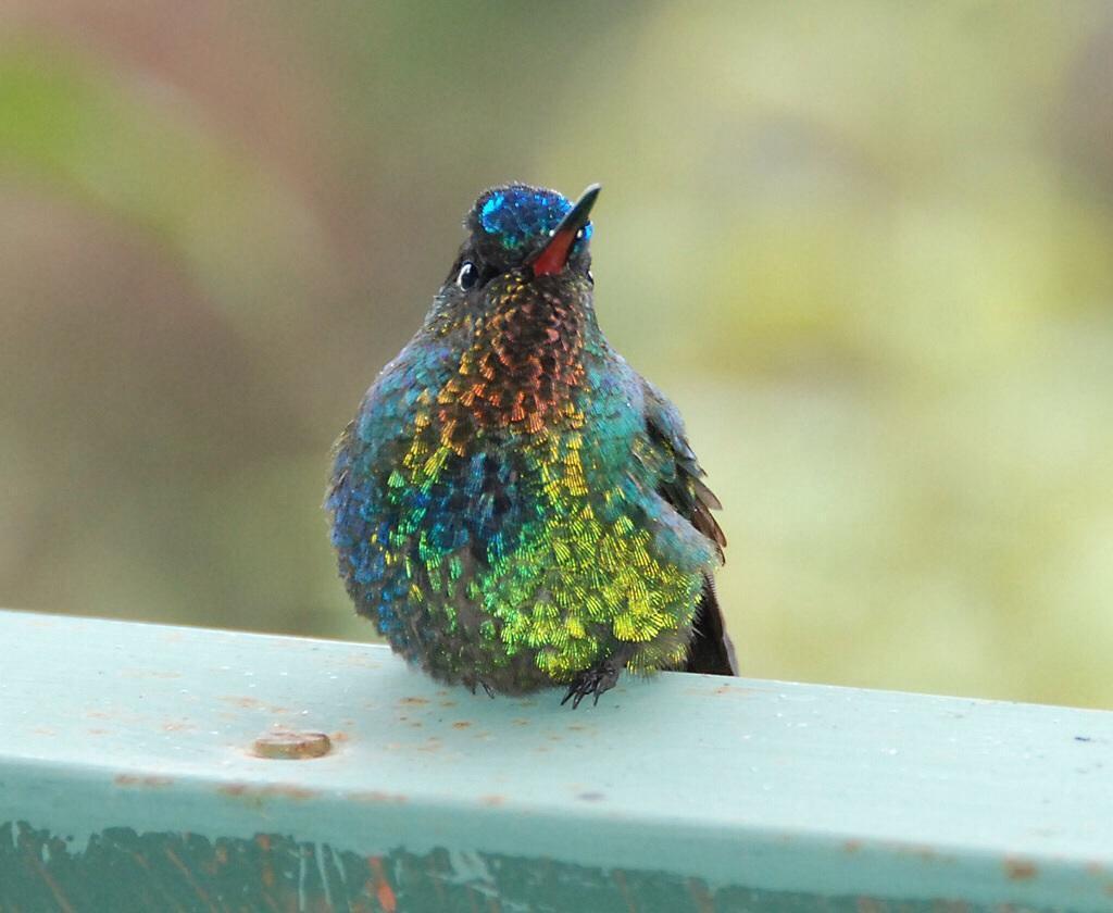 Fiery-throated Hummingbird Photo by Carol Foil