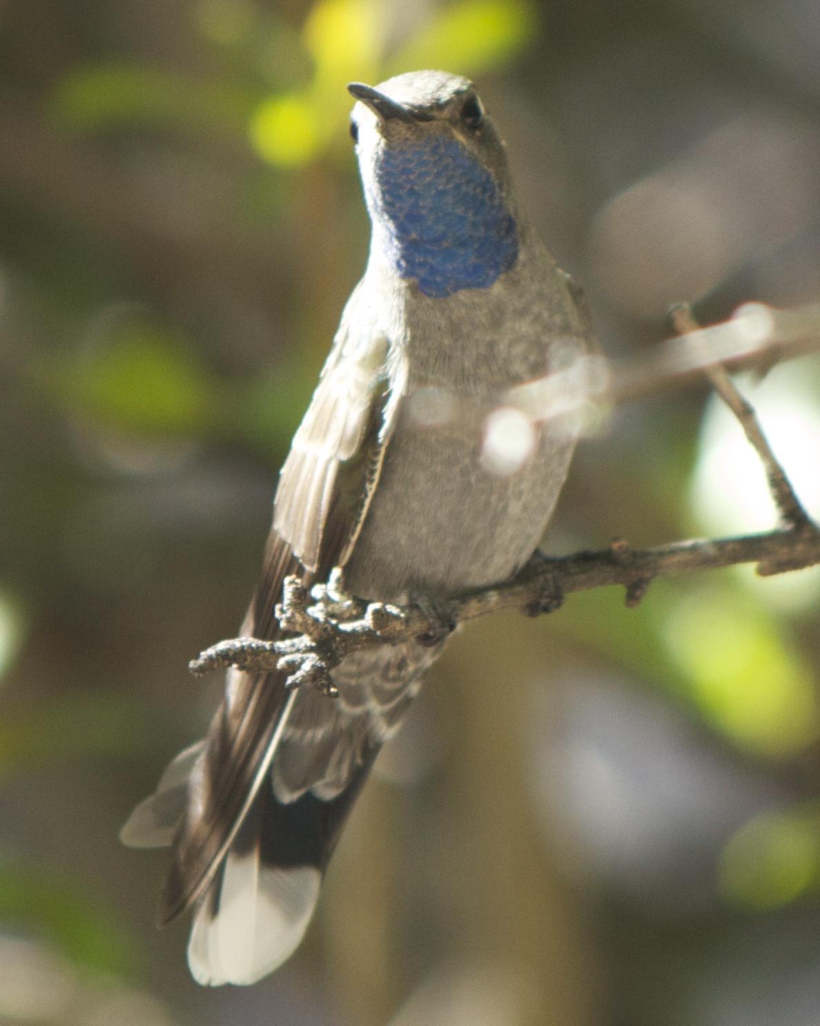 Blue-throated Mountain-gem Photo by Mark Baldwin