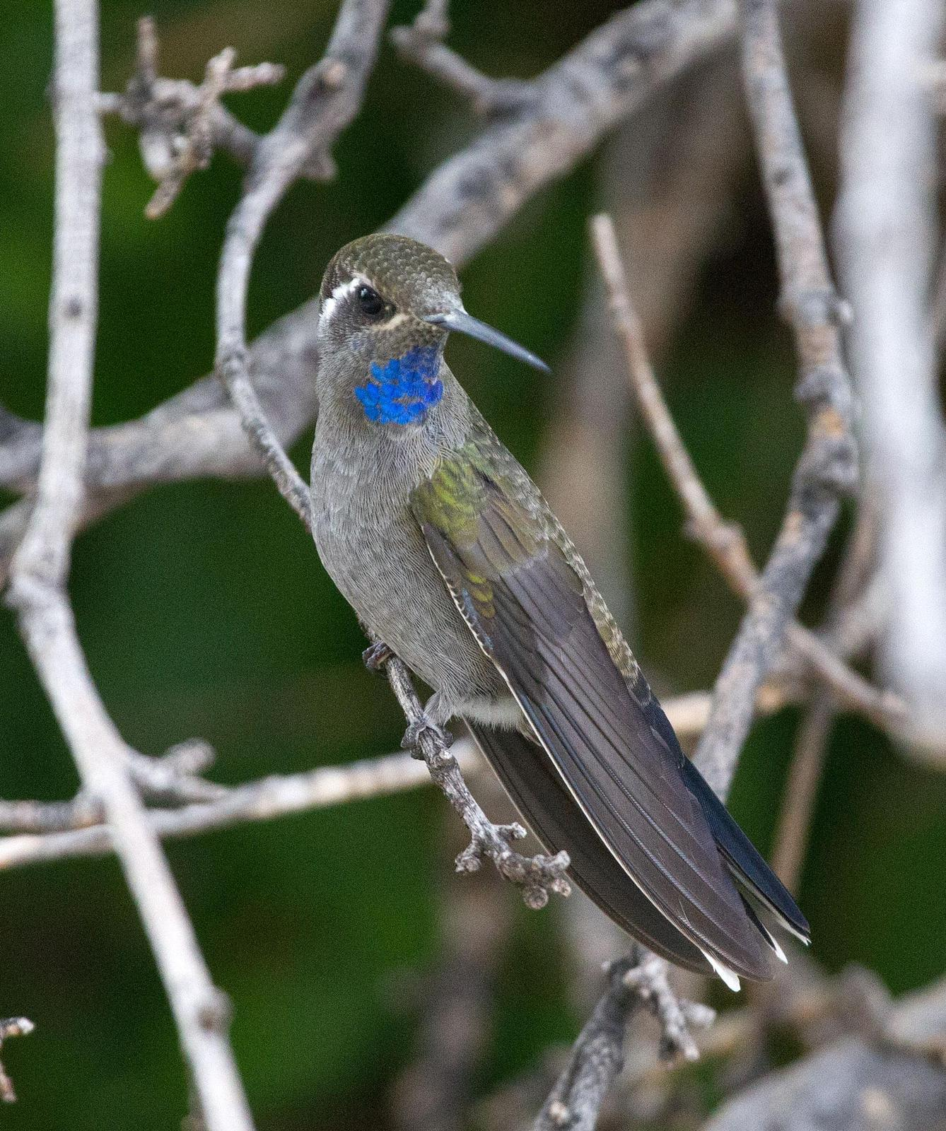 Blue-throated Mountain-gem Photo by Scott Berglund