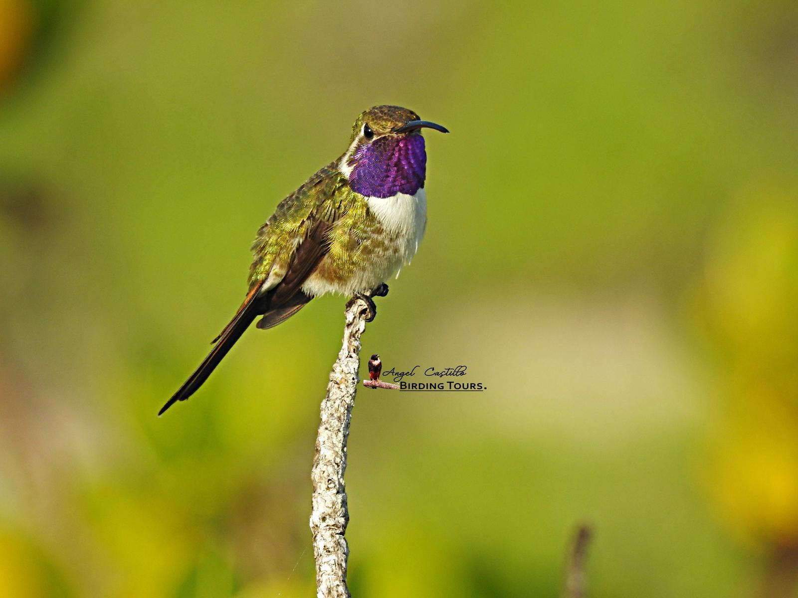 Mexican Sheartail Photo by Castillo Cime
