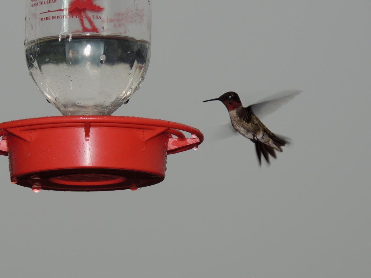 Ruby-throated Hummingbird Photo by Tony Heindel