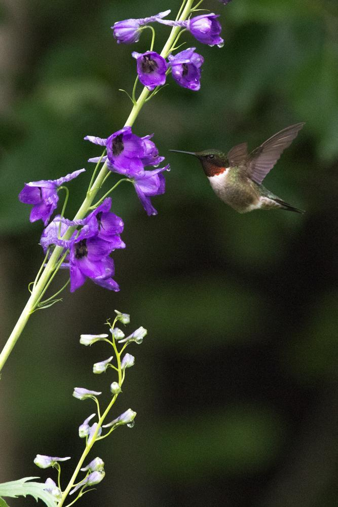 Ruby-throated Hummingbird Photo by Amanda Fulda