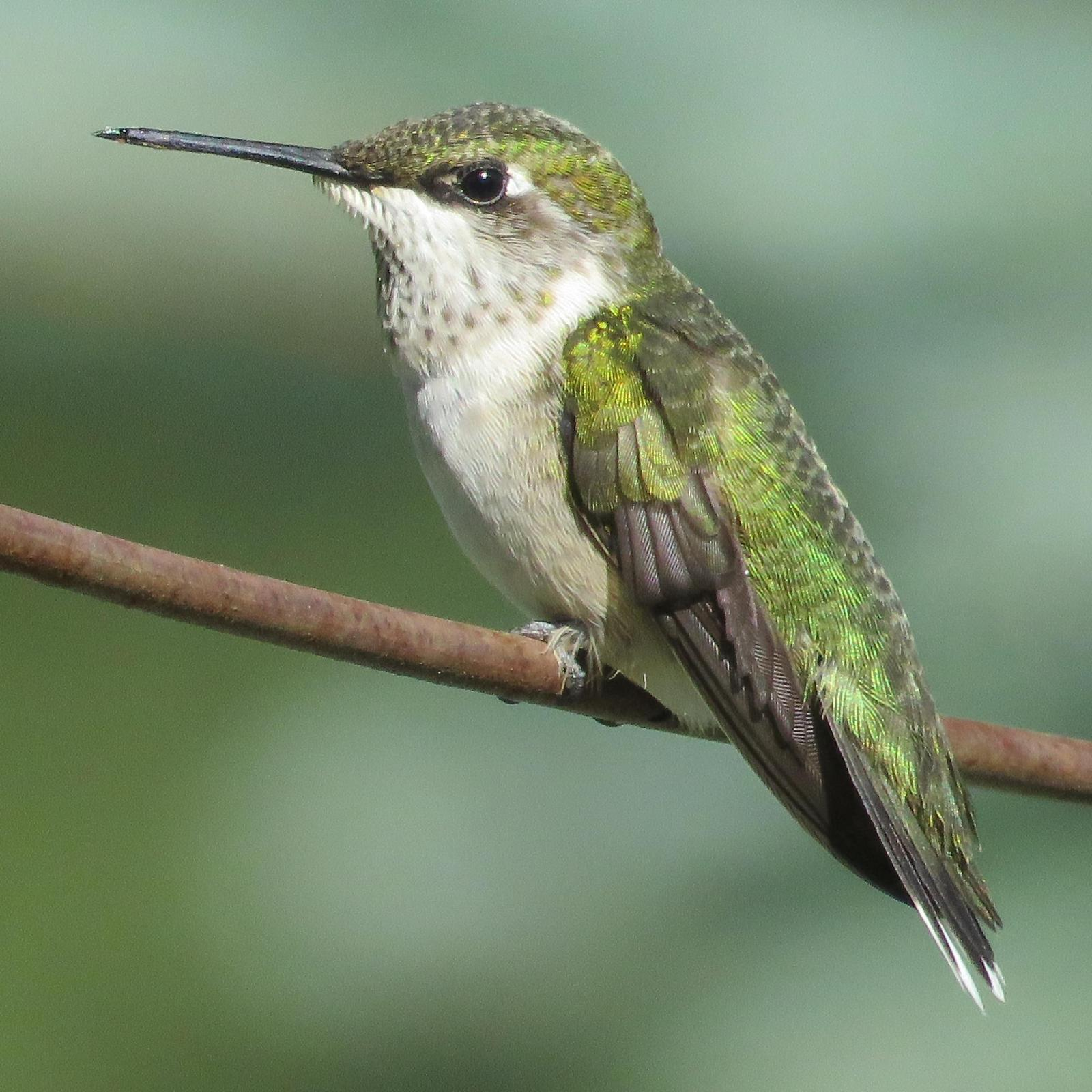 Ruby-throated Hummingbird Photo by Bob Neugebauer
